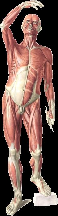 Prometheus - Anatomie lernen und verstehen – versandkostenfrei ...