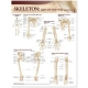 Lippincott Williams & Wilkins Atlas of Anatomy Skeletal System Chart: Upper and Lower Limbs