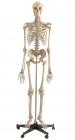 Homo Skelett Modell