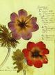"""Herbarium Postkartenset: Motiv """"Anemone"""" à 10 Karten aus Rosa Luxemburgs Herbarium"""