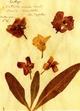 """Herbarium Postkartenset: Motiv """"Levkoje"""" à 10 Karten aus Rosa Luxemburgs Herbarium"""