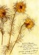 Herbarium Postkartenset - Rosa Luxemburg