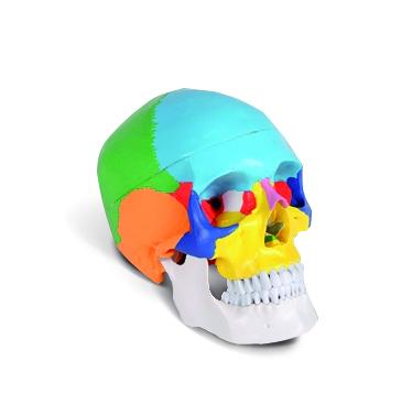 Menschlicher Schädel Classic, farbig | Medical Equipment online ...