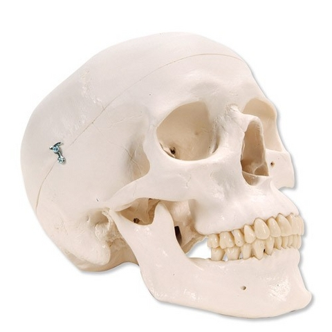 Schädel Modell Klassik 3-teilig | Medical Equipment online kaufen ...